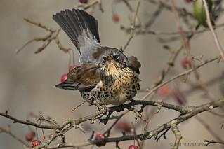 Wacholderdrossel (Turdus pilaris)