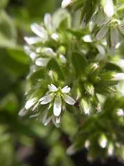 オランダミミナグサ (nofrills) Tags: white whiteflowers whiteandgreen green weed weeds tiny roadside オランダミミナグサ chickweed