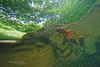 Grenouille des Pyrénées Rana pyrenaica (Matthieu Berroneau) Tags: amphibien anoure grenouille 64 rana pyrenaica france herpéto herpeto trip nature sony alpha 99 a99 slt macro amphibian amphibia anoura anouran tail less amphibians pyrenean frog des pyrénées pirenaica anura tailless wildlife varliagyviai pyrénéesatlantiques basoigel piriniotarra larve larva tadpole têtard ewa marine ewamarine lebensraum full frame ranapyrenaica pyreneanfrog grenouilledespyrénées esterençuby harpéa