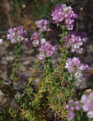 Verticordia pennigera, Hartfield Park, Perth, WA, 30/11/17 (Russell Cumming) Tags: plant verticordia verticordiapennigera myrtaceae hartfieldpark perth westernaustralia