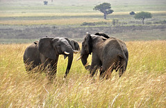 elephants (robertoburchi1) Tags: animali animals nature africa kenia landscape