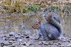 Grey Squirrel. (raven fandango) Tags: grey squirrel marston vale wetlands nature reserve febuary 2018 animals animal mamal british countryside centre canon bedfordshire beds eos 7d mk ii 400 100400 england english feeding garden hungry winter photography park photo photos squirel wildlife wild wetland life grass mammal forest dof