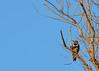 DSC_5216 Red Shafted Flicker (futzr.fotoz) Tags: red shafted flicker blue sky birds elm tree parker bridge