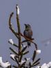 Tannenhäher / Nutcracker (oonaolivia) Tags: tannenhäher nutcracker vögel bird birdwatching
