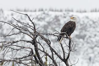 Bald eagle along the Madison River