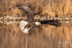 Bald Eagle makes the catch - 16 of 33