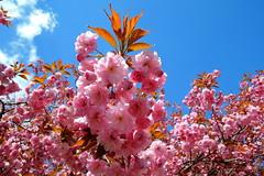 Sakura (ZdenHer) Tags: sakura blossom tree
