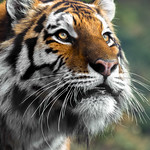 Dragan the Amur Tiger thumbnail