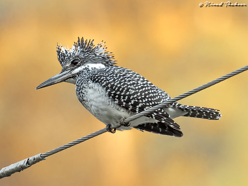 """Crested Kingfisher (Lifer) • <a style=""""font-size:0.8em;"""" href=""""http://www.flickr.com/photos/59465790@N04/40704538882/"""" target=""""_blank"""">View on Flickr</a>"""