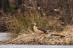 Nilgans (D a v i d _ M) Tags: nilgans wildlife birds bird vogel natur nature sony a7ii sigma 150600 egyptian goose