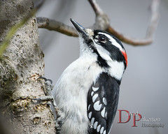 My Backyard: Downy Woodpecker (David Pinkerton) Tags: birds downywoodpecker nikon200500mm westernpennsylvania