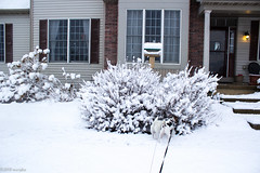 Where is that mouse?? (Dogs In the Bushes) (marylea) Tags: 2018 winter snow snowy snowfall mar7 dogs playing prt parsonrussellterrier terriers terrier puppies maddy dooley