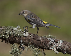 Yellow-rumped Warbler (AllHarts) Tags: yellowrumpedwarbler backyardbirds memphistn naturescarousel naturesspirit thesunshinegroup