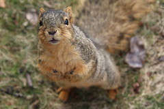 Squirrels On a Winter's Day in Ann Arbor at the University of Michigan (March 13th, 2018) (cseeman) Tags: gobluesquirrels squirrels annarbor michigan animal campus universityofmichigan umsquirrels03132018 winter eating peanut marchumsquirrel snow flag amerisquirrel amerisquirrel2020 amerisquirrel03013018