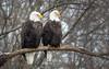 Pygargues à tête blanche / Bald Eagles [Haliaeetus leucocephalus] Explored 2018.03.12 #90 (Curculion) Tags: pentaxk1 aves hdpentaxdaafrearconverter14xaw accipitridae accipitriformes pygargueàtêteblanchebaldeaglehaliaeetusleucocephalus smcpentaxfa250600mmf56edif pentax ricohimages pentaxian ricohpentax accipitridés aigleàtêteblanche