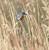 kingfisher (Lancs & Lakes Outback Adventure Wildlife Safaris) Tags: nikon d7200 tamron 600mm moore warrington cheshirewildlifetrust moorenaturereserve kingfisher orange blue reeds patience watching dazzling