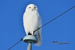 Snowy Owl DSC_0270 (Ron Kube Photography) Tags: owls bird birds nature fauna ornithology owl snowy snowyowl birdofprey raptor alberta southernalberta nikon nikond500 canada d500 ronaldok globalbirdtrekkers buboscandiacus ronkubephotography