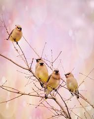 Cedar Waxwings (Rifa21) Tags: birds birdphotography cedar waxwing birdwatching photography perch texture blend