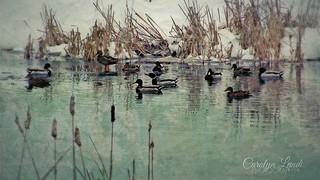 Cold Ducks