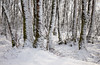 Silver White Winter (Sarah_Brooks) Tags: glencoe highlands scotland scottish landscape trees birch snow winter tree feb glenetive