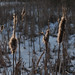 """Reeds in the frozen """"Island pond"""""""