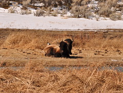 DSC_0060 (M.Lockner) Tags: march yellowstone national park nature wildlife montana usa bison buffalo madelenelockner