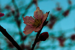 Spring! 🌸 (katyearley) Tags: spring branches blue pink veins petals flower