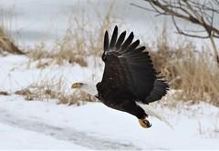 Bald Eagle (kearneyjoe) Tags: baldeagle