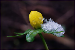Do you want some sorbet? It weighs a lot. (Gudzwi) Tags: winterling earlybloomers frühblüher springmessenger frühlingsbote bokeh blume blüte blütenknospe flower flora blossom flowerbud bud knospe 7dwf 7dwffridaysflora eranthishyemalis schnee snow eis ice eiskristall icecrystal winteraconite makro macro wassertropfen waterdrops tropfen drops