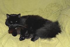 - Don't distract me from meditation... (Caulker) Tags: cat vaska armchair meditation
