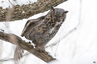 ''Yoga c'est du sérieux!'' Grand-duc d'Amérique-Great horned owl