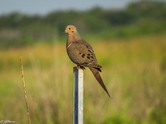 Mourning Dove (JGHoover50) Tags: dove mourningdove