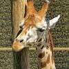 Kraków ZOO in the Wolski Forest (marek&anna) Tags: polska poland kraków cracow zoo animal giraffe