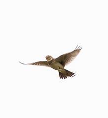 Oare Skylark flying
