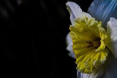 Simple Flower (katyearley) Tags: 55mm canonrebel dark leaves petals white yellow simple flower
