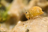 Sminthurus viridis ♂ (Jerome Picard) Tags: collembola collembole mesofauna france fr hexapoda arthropod symphypleona sminthurus viridis