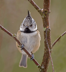 JWL7514  Crested Tit.. (jefflack Wildlife&Nature) Tags: crestedtit tits tit birds avian animal animals wildlife wildbirds woodlands forest cairngorms caledonian songbirds snow scotland countryside moorland pineforest pines nature highlands