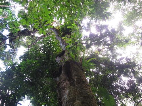 200 Year Old Mango Tree