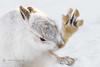 Hello! (cjdolfin) Tags: highland lepustimidus scotland scottish cjdolfin hill mammal mountain mountainhare nature paw preen snow wave white wild wildlife winter