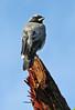 Blacked-face Cuckoo-shrike. 004 (DMT@YLOR) Tags: cuckoo blackfacedcuckooshrike bird tree branch broken wet sky blue goodna ipswich queensland australia splinters wood perch bark