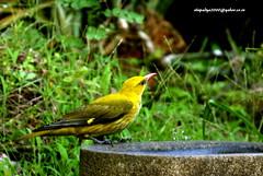 IMG_0639  Indian Golden Oriole (Oriolus kundoo)-Female (vlupadya) Tags: greatnature animal aves fauna indianbirds gokden indian oriole oriolus kundapura karnataka