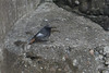 Stray. (stonefaction) Tags: black redstart arbroath angus scotland birds nature wildlife