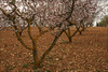 Almendros en flor (Art.Mary) Tags: trees arbres árboles almendros almonds amandiers primavera canon printemps spring granada andalucía españa spain espagne paysage paisaje landscape almondtree