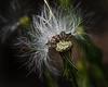 Half a Dandelion (Beth Reynolds) Tags: flower weed dandelion fluffy macro seeds blow nature plants florida light detail close