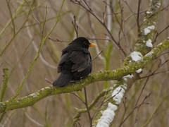 Blackbird (Deanne Wildsmith) Tags: earthnaturelife staffordshire bartonmarina blackbird bird
