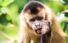 Macaco-prego (Degu SASF) Tags: brasilia brasília brasil brazil