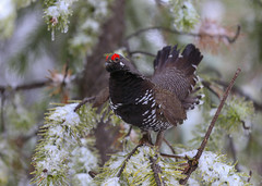 Spruce Grouse (Male) (Khanh B. Tran) Tags: