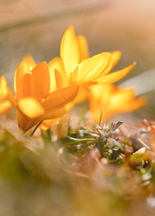 Yellow Crocus (mclcbooks) Tags: flower flowers floral macro closeup crocus crocuses bulbs spring denverbotanicgardens colorado