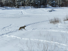 Coyote crossing the frozen Elbow River (annkelliott) Tags: calgary alberta canada weaselhead nature scenery landscape winterscene elbowriver ice frozen snow tree trees tracks footprints animal wildlife mammal coyote canislatrans sideview walking outdoor winter 4march2018 fz200 fz2004 panasonic lumix annkelliott anneelliott ©anneelliott2018 ©allrightsreserved