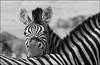 Zebra_IMG7273 (Mel Gray) Tags: etosha etoshagamereserve namibia wildlife wildanimals blackandwhite monochrome africanwildlife africa